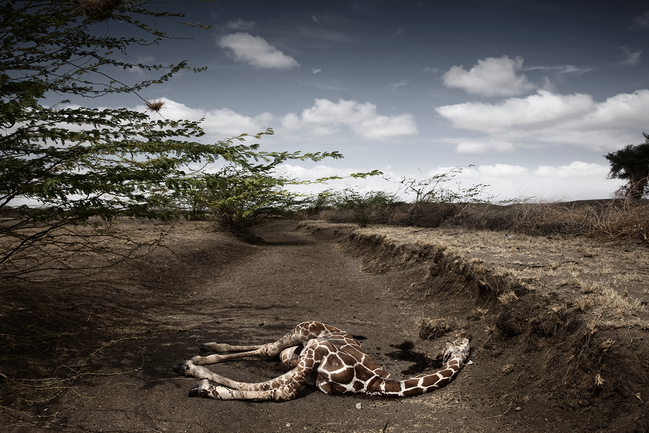 Giraffe killed by the draught in WAJIR area, in the northeastern province, Kenya, October 2009. ©Stefano De Luigi / VII